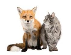 Fuchs und Katze