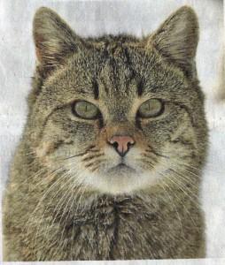 Wildkatzen fühlen sich heimisch.